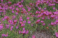 Wimpern-Heide, Wimpernheide, Wimperheide, Wimper-Heide, Dorset-Heide, Erica ciliaris, Dorset heath, Bruyère ciliée
