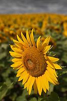 Europe/France/Poitou-Charentes/17/Charente-Maritime/Saintes: Champ de tournesols en fleur
