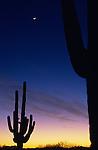 Silhouetted saguaro cactus sunset at dusk with crescent moon near Buckeye, Arizona State USA