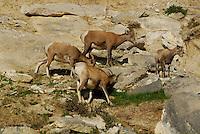 Big Horn Sheep high in the cliffs in Jasper National Park Alberta Canada