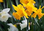 Vashon Island, Washington<br /> Daffodils (Narcissus sp.) close up in a spring garden
