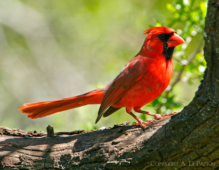 Northern cardinal adult male on tree limb