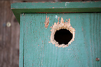 Einflugloch wurde aufgehackt, aufgenagt, Holz-Nistkasten, Nistkasten für Vögel aus Holz, Vogelkasten, Meisenkasten selber bauen, Basteln, Bastelei, selbst bauen, selbermachen, selbstmachen, Räuber