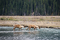 Two woodland caribou cross stream in Northern Rockies.  June.