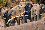 An impala (Aepyceros melampus) races past a herd of African bush elephants (Loxodonta africana), Mashatu Game Reserve, Botswana<br /> <br /> Canon EOS-1D X, EF200-400mm f/4L IS USM lens, f/18 for 1/1600 second, ISO 4000