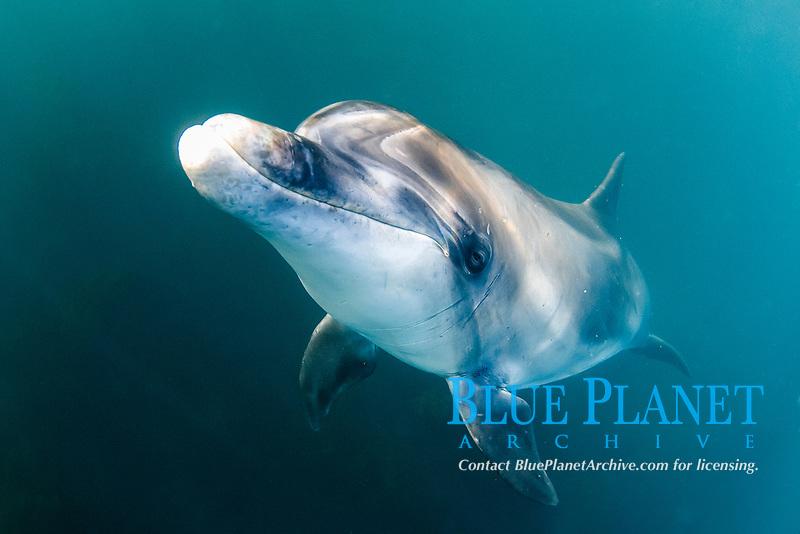 friendly, wild, bottlenose dolphin, named Dusty,, Tursiops truncatus, West of Ireland, Southern Ireland, British Isles, North Atlantic Ocean