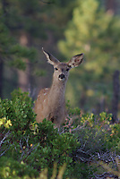 Mule Deer (Obocoileus hemionus)fawn seen in southern Utah's, Bryce Canyon National Park on a summer afternoon.