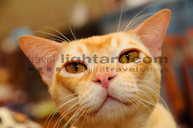 ©Paul Trummer, Mauren / FL, www.travel-lightart.com, www.digital-photos.eu, animal, animalia, animals, Burma Cat, Burmese Cat, cat, catkins, cats, domestic cat, domestic cats, felis catus, living being, mammal, mammals, pet cat, pet cats, predator, predators, vertebrate, vertebrates, warm blooded animals, warm blooded-animal, Fauna, Felis, Fissipedia, Hauskatze, Hauskatzen, Kater, Landraubtier, Landraubtiere, Lebewesen, Mammalia, Rassekatze, Säuger, Säugetier, Säugetiere, Tierbild, Tierbilder, Vertebrata, Warmblüter, Wirbeltier, Wirbeltiere, Haustier, Haustiere, Domestic Animals