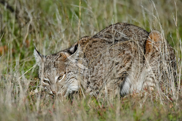 Wild Bobcat (Lynx rufus) feeding--I believe--on a pocket gopher it has caught.  Central California.  December.  (Completely wild, non-captive cat.)