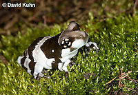 0305-0917  Froglet, Amazon Milk Frog (Marbled Tree Frog), Trachycephalus resinifictrix (formerly: Phrynohyas resinifictrix)  © David Kuhn/Dwight Kuhn Photography