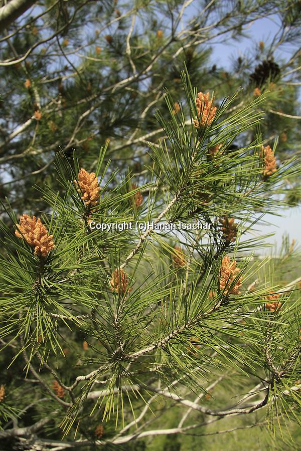 Israel, Jerusalem mountains, Pine trees in Tel Ksalon