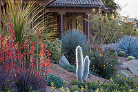 Cactus, Selenicereus strausii  Silver Torch and succulents Red flowering Aloe 'B lkue Elf' in California drought tolerant front yard, Schaff garden