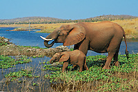 African elephant (Loxodonta africana) cow with young calf drinking from Lake Kariba.  Matusadona National Park, Zimbabwe.  (See also 3ME621).