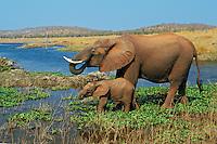 African elephant (Loxodonta africana) cow with young calf drinking from Lake Kariba.  Matusadona National Park, Zimbabwe.  (See also 3ME621).