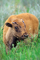 Young Bison calf  (Bison bison) Theodore Roosevelt National Park, North Dakota.