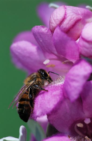 Honey Bee, Apis mellifera, adult drinking from Texas Sage (Leucophyllum frutescens) , Lake Corpus Christi, Texas, USA