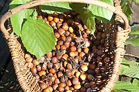 Gewöhnliche Hasel, Ernte, reife Nüsse im Korb, Haselnuß, Haselnuss, Früchte, Nuß, Nuss, Corylus avellana, Cob, Hazel, Coudrier, Noisetier commun