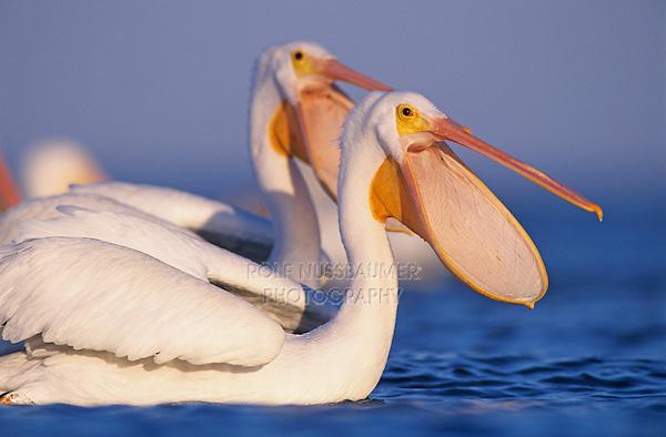 American White Pelican, Pelecanus erythrorhynchos, adults bill open, Rockport, Texas, USA