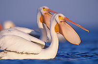 American White Pelican, Pelecanus erythrorhynchos, adults bill open, Rockport, Texas, USA