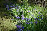 Magnolia Plantation,  Blue Flag Iris in bloom, Charleston, SC, USA