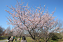 Early flowering cherry blossoms in Tokyo
