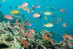 Anilao, Philippines; an aggregation of Scalefin Anthias (Pseudanthias squamipinnis) fish, Threadfin Anthias (Pseudanthias huchti) fish and Redtooth Triggerfish (Odonus niger) swim above the coral reef