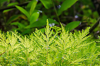 A close-up of several new ferns lit by the sun along the trail to 'Akaka Falls, Big Island of Hawai'i.
