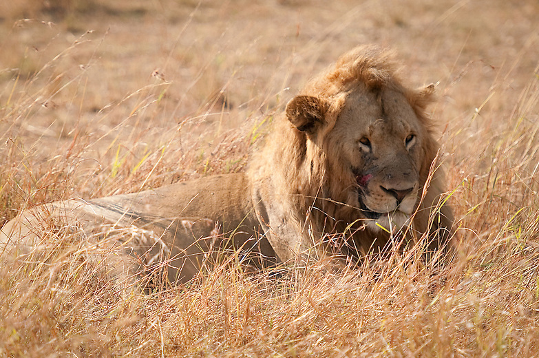 The mane a secondary sexual characteristic in lion, varies in size in different populations. In the Masai Mara younger males have a more  blond mane while older ones are black maned.  The gash on this young male's face probably occurred during a fight with his prey.