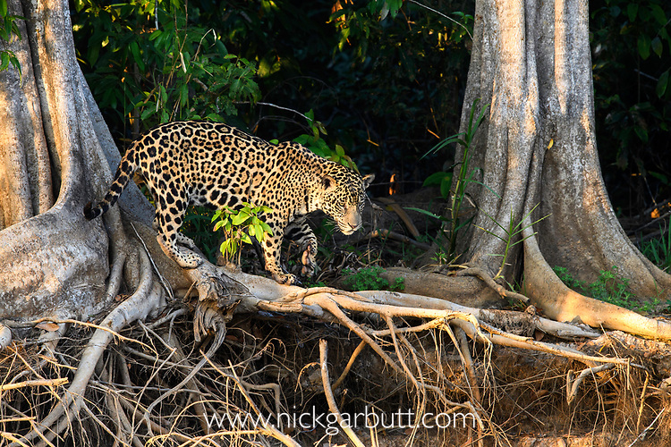 Male Jaguar (Panthera onca palustris) hunting along the edge of the Cuiaba River. Porto Jofre, northern Pantanal, Mato Grosso State, Brazil.
