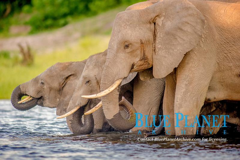 African bush elephant, Loxodonta africana, herd, bathing and drinking water in Chobe River, Chobe National Park, Botswana, Africa