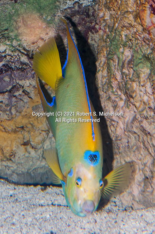 Queen angelfish picking food off sand bottom, vertical.