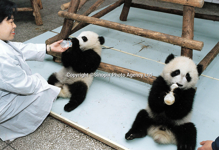 """Qi Zeng (sp) on right (with twin on left), which means seven stiches (or holes), feeds himself with a babies milk bottle.  The bouncing panda cub survived after being rejected by his mother and thrown across the cage. The new-born panda required an unprecedented operation to its abdomen requiring 7 stitches and according to the senior vet """"it is a miracle"""" that he survived."""