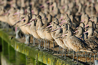 Flock of Marbled Godwits (Limosa fedoa) in basic (winter) plumage roosting on a dock. Pacific County, Washinton. August.