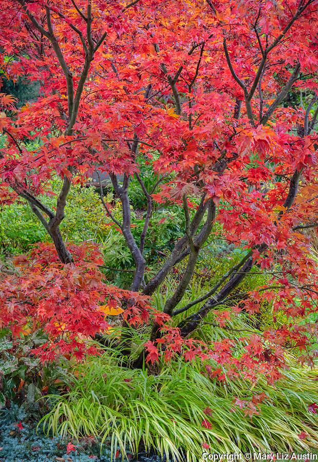 Vashon-Maury Island, WA: Autumn foliage of Japanese maple 'Kasagi yama' and Japanese forest grass, 'Hakonechloa macra 'Aureola' at the base.
