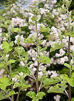 Burdock (Arctium lappa) medicinal herb plant in herb garden