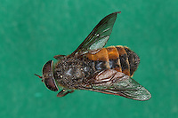 Bremse, Rinder-Bremse, Rinderbremse, Rinder - Bremse, Tabanus spec., large horsefly