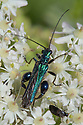 Thick-legged flower beetle {Oedemera nobilis} male feeding on on umbellifer flowers. Devon, UK. June.