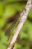Variable Dancer (Argia fumipennis violacea) Damselfly - Female (Violet Dancer subspecies), Pharaoh Lake Wilderness Area, Ticonderoga, Essex County, New York