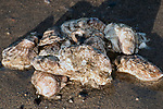 Many Eastern oysters exposed on sand bottom at low tide.