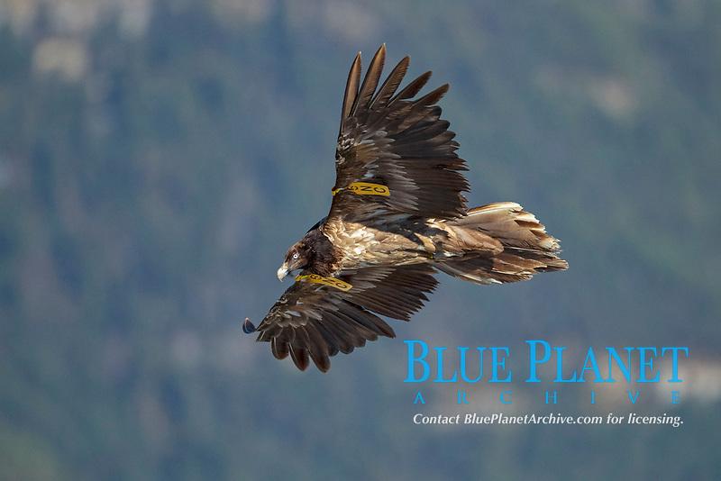 Bearded Vulture (Gypaetus barbatus), immature bird in flight with wings brands, Pyrenees, Aragon, Spain, Europe