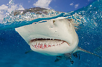 Lemon shark, Negaprion brevirostris, split view, close up of mouth and teeth, Bahamas, Caribbean Sea, Atlantic Ocean