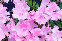 Lathyrus odoratus 'Banty' (pink, new release 2007) annual sweet pea flowers