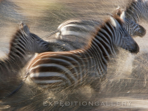 Zebras running through water in the Mara River after being spooked from potential danger. Serengeti National Park, Tanzania.
