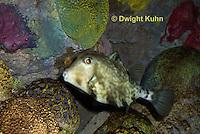 TP15-501z  Camel Cowfish, Boxfish, Tetrosomus gibbosus