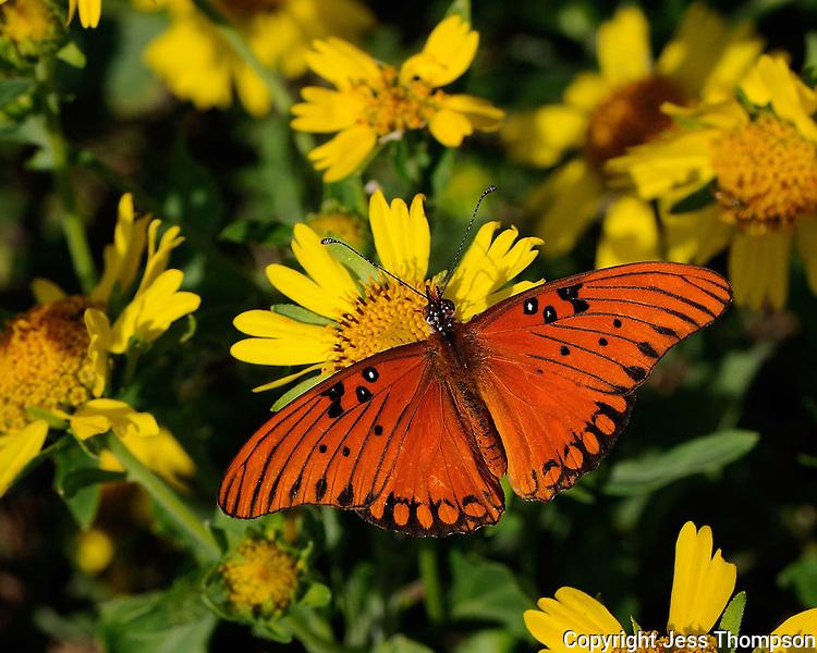Gulf Fritillary Butterfly, Enchanted Rock State Park, TX