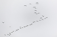 A squadron (their collective noun) of pelicans fills the sky over the Pacific Ocean at Bean Hollow State Beach.