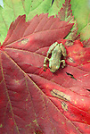 Pacific tree frog, Mt. Baker-Snoqualmie National Forest, Washington, USA