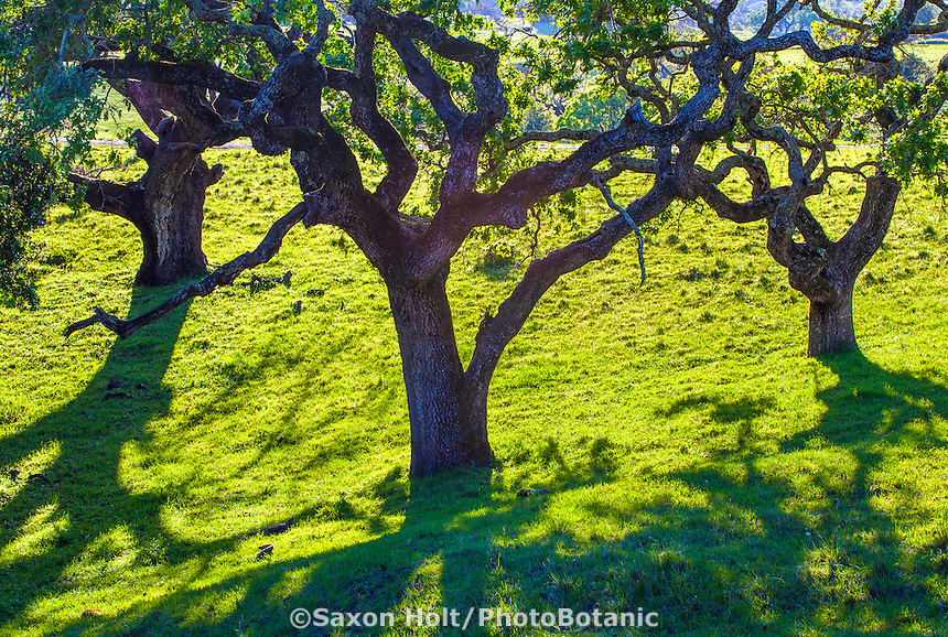 Valley Oak trees (Quercus lobata) dark shapes of trunks and branches against bright green grass on Mt. Burdell State Park, Novato, California