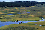 Bison graze along the Yellowstone River in Hayden Valley in Yellowstone National Park, Wyoming.