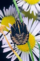 Streifenwanze, Streifen-Wanze, Larve, Nymphe, Graphosoma lineatum, Italian Striped-Bug, Striped-Bug, Minstrel Bug, Baumwanzen, Pentatomidae, stink bugs